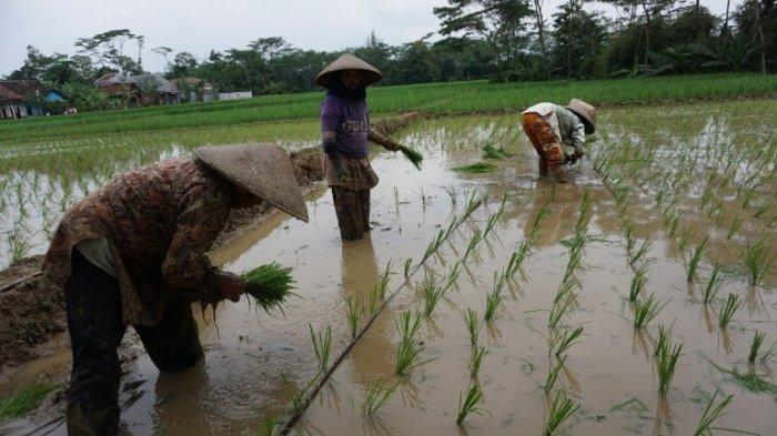 Antisipasi Gagal Panen, Dispaperta Batang Sarankan Petani Manfaatkan Asuransi Usaha Tani Padi