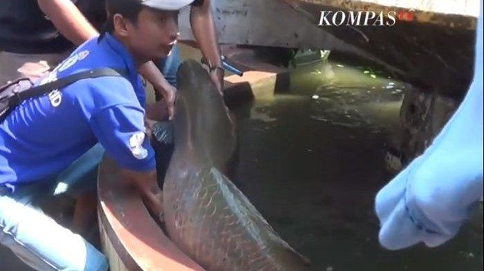 Lagi, Ikan Raksasa Arapaima Gigas Ditangkap 2 Nelayan di Sungai Kawasan Rolag, Surabaya