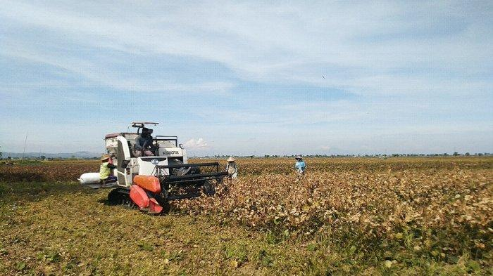 Petani di Kudus Rasakan Manisnya Harga Kacang Hijau