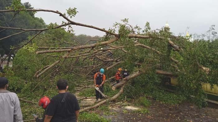 Warga Kaitkan Hal Mistis Terkait Tumbangnya Pohon Beringin Ratusan Tahun di Alun-alun Lumajang
