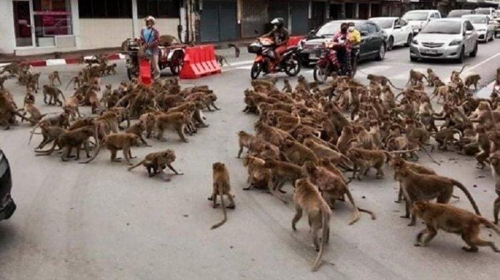 Kawanan Monyet Serbu Jalanan Thailand karena Krisis Makanan, Tak Ada Turis Selama Pandemi Covid-19
