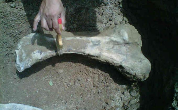 Tim Pelestari Situs Patiayam Kabupaten Kudus, menemukan fosil gading, kaki serta tulang rusuk gajah purba di kawasan Situs Patiayam di Kecamatan Jekulo, Kudus, Jawa Tengah, Jumat (3/1/2013).