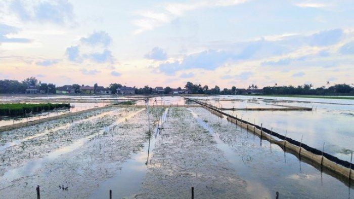 Tanaman Padi Terendam Pasca Hujan, Sudirman Harus Pompa Air 3 kali Sehari