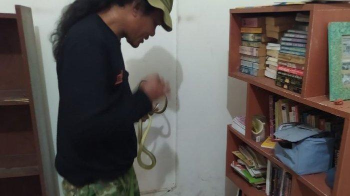 Relawan mengevakuasi ular yanh bersembungi di rak buku di Desa Gondangmanis, Kecamatan Bae, Kabupaten Kudus.