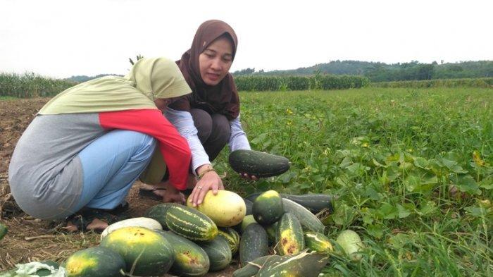 Berkah Ramadhan bagi Petani Timun Suri di Bodeh Pemalang