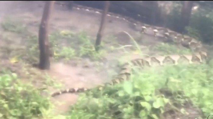 Penampakan Ular Piton Raksasa Hebohkan Warga, Direkam Seorang Pemancing 1 Km dari Permukiman