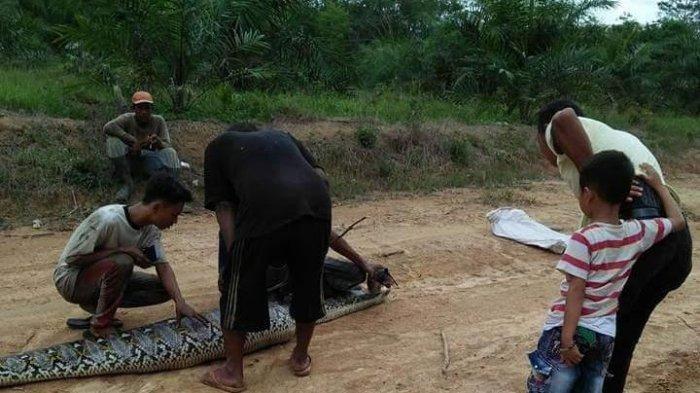 Ular Piton Raksasa Berkulit Batik Keluar dari Hutan, Warga Diminta Waspada