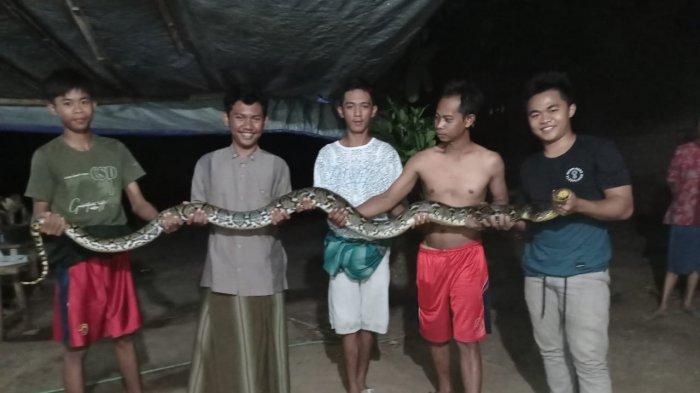 Ular Sanca Muncul di Selokan Kelontong Jepara, Panjangnya 3 Meter: Saya Curiga Liat dalam Selokan