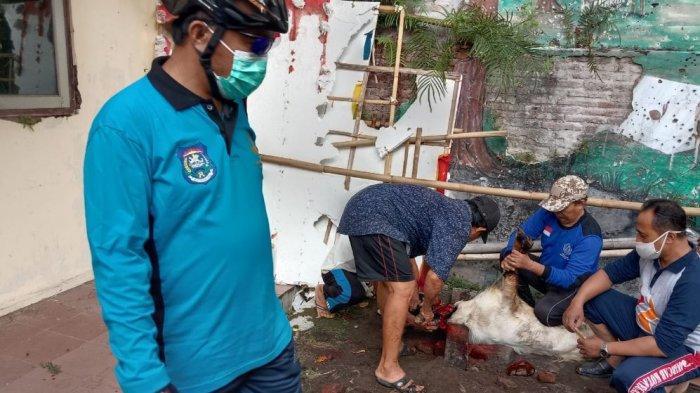 Peduli di Tengah Pandemi Covid-19, Pramuka Kota Tegal Kurban 5 Ekor Kambing