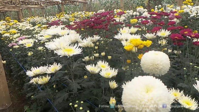 Anda Bisa Menyusuri Keindahan Kebun Bunga Krisan di Clapar Bandungan, Ini Videonya