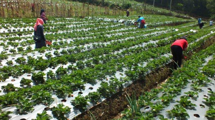 Kebun Stroberi Pratin Purbalingga