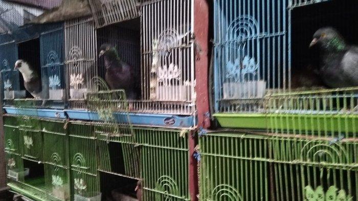 Kisah Inspiratif Hobi Membawa Berkah Yunius Jadi Pengusaha Merpati Kontes Kolong Tribun Jateng