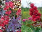 5-tumbuhan-paling-berbahaya-di-dunia-salah-satunya-mirip-rambutan-dan-sering-dijumpai-di-indonesia.jpg