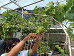 adly-natha-44-pembudidaya-bibit-anggur-saat-merapikan-buah-anggur-di-kebun-rooftopnya.jpg