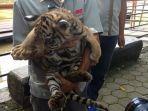 anak-harimau-lahir-semasa-pandemi-di-semarang-zoo.jpg