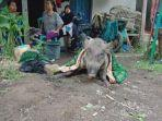 babi-hutan-bagong-diblok-hajaresik-desa-karangpawitan-kecamatan-padaherang-kabupaten-pangandaran.jpg