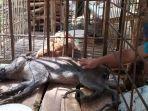 babi-hutan-berkaki-aneh-di-desa-pekuncen-kecamatan-jatilawang-kabupaten-banyumas.jpg
