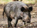 babi-hutan-celeng_20180730_204445.jpg