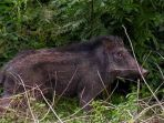 babi-hutan-indonesia_20161118_133345.jpg
