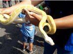 bacan-emeraldo-ular-piton-albino.jpg