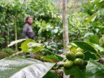 buah-kopi-hijau-yang-ada-di-perkebunan-kopi-dukuh-geritan-kecamatan-bawang-kabu.jpg