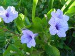 bunga-kencana-ungu.jpg