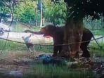 dihajar-seekor-gajah-bernama-cherry-menggunakan.jpg