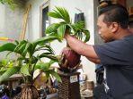 dimas-saat-melakukan-penyayatan-pada-tunas-bonsai-kelapa-menggunakan-cutter-selasa-24112020.jpg