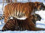 dua-ekor-harimau-siberia-di-taman-harimau-siberia.jpg