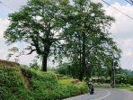 dua-pohon-randu-raksasa-yang-disebalang-jumat-1932021.jpg