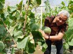 gubernur-jawa-tengah-ganjar-pranowo-membopong-sebuah-melon-organik_20180801_162906.jpg