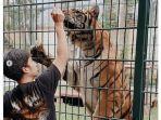 harimau-benggala-peliharaan-sepupu-raffi-ahmad-alshad-ahmad.jpg