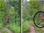 harimau-di-grobogan.jpg