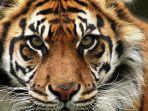 harimau-sumatera_20170112_031325.jpg