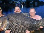 ikan-mas-raksasa-sebesar-105-kilogram.jpg