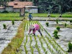 ilustrasi-aktivitas-petani-di-lahan-persawahan-yang-ada-di-kabupaten-tegal.jpg