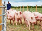 ilustrasi-kandang-babi-jenis-flu-baru-yang-ditemukan-di-china-disebut.jpg
