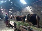 kandang-sapi-salatiga-1.jpg