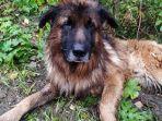 kiryusha-anjing-jenis-german-shepher-yang-sengaja-dikubur-hidup-hidup-oleh-pemiliknya.jpg