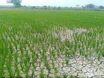 lahan-pertanian-yang-sedang-ditanami-padidi-kabupaten-kendal-terlihat-mengering_20180814_154214.jpg