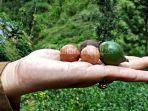macadamia-termahal.jpg