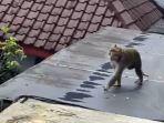 monyet-berkeliaran-di-lapas-banjarnegara-beberapa-waktu-lalu.jpg