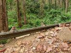 monyet-ekor-panjang-di-sepanjang-jalur-pantura-alas-roban-kabupaten-batang-sabtu.jpg