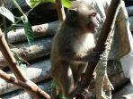 monyet-ekor-panjang-yang-meresahkan-warga-desa-dawuhan-kecamatan-wanayasa-banjarnegara.jpg