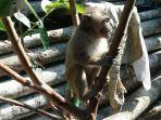 monyet-serang-lahan-pertanian-warga-desa-dawuhan-wanayasa-banjarnegara.jpg