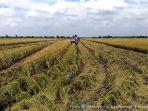 panen-padi-organik-di-wedung-kabupaten-demak-meriah_20170223_220827.jpg