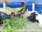pedagang-kambing-kurban-tengah-memberikan-makanan-kepada-kambing-kurban-mereka.jpg