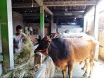 pedagang-ternak-sapi-tengah-memberikan-makan-ternaknya_20180821_164147.jpg