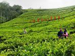 pengunjung-sedang-berfoto-di-area-perkebunan-teh-di-agrowisata-kaligua-brebes.jpg