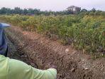 petani-cabai-di-demak-gagal-panen.jpg
